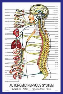 Autonomic Nervous System Chart Poster - Vintage ...