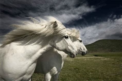 icelandic horses horses animals background wallpapers