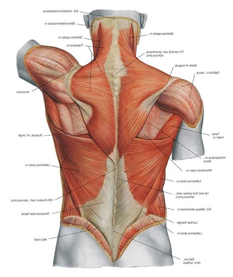 Female anatomy view image photo free trial bigstock. Back Muscles Anatomy Anatomy Of The Back Muscles Anatomy Of Human Body And Animals   Body ...