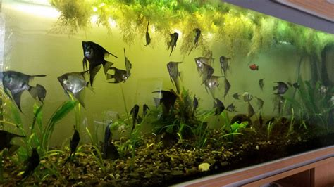aquarium 600 l occasion large aquarium with stand 600l and angelfishes newark nottinghamshire pets4homes