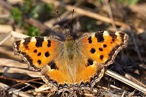 Bedeutung Schmetterling In Der Wohnung : schmetterlinge im winter bund naturschutz in bayern e v ~ Watch28wear.com Haus und Dekorationen