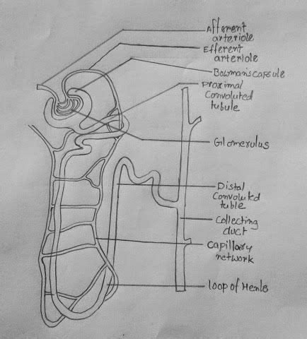 draw nephron education drawings anatomy