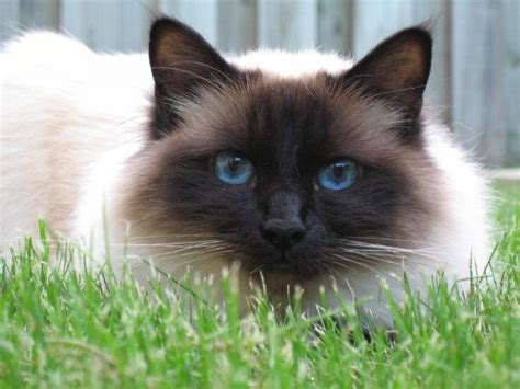 cat expectancy life expectancy of birman cats annie many