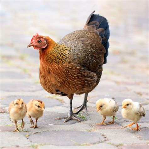 precious pictures  baby chickens  green plate