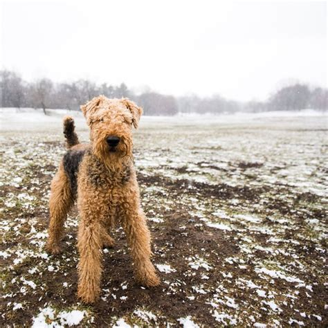 do airedale terriers shed 25 best ideas about airedale terrier on