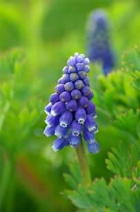Grape Hyacinth Flower in Garden