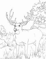 Deer Coloring Mule Head Printable Getdrawings Getcolorings sketch template