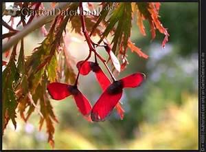 Roter Japanischer Ahorn : bild f cherahorn japanischer ahorn acer palmatum foto 39 dissectum atropurpureum 39 roter ~ Frokenaadalensverden.com Haus und Dekorationen