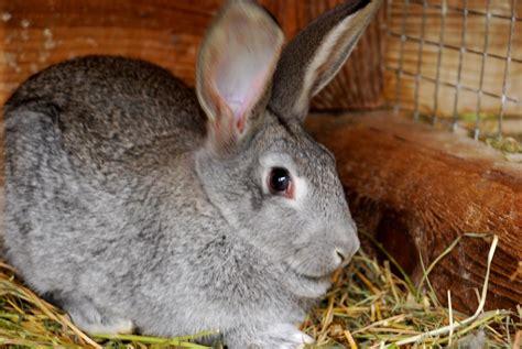 rabbit breeds applegarth farm meet the new rabbits