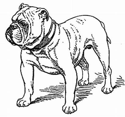 Bulldog Coloring Pages English Dog Bulldogs Drawing