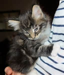Maine Coon Cat Kittens Sale