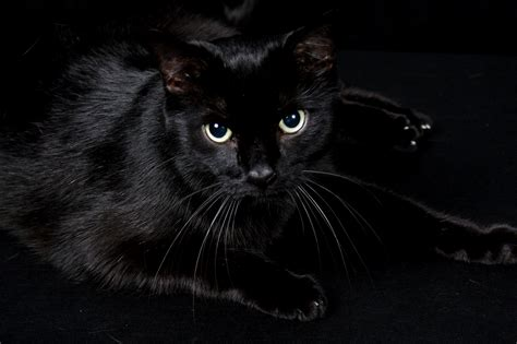People Actually Adopt Black Cats For Halloween Costume