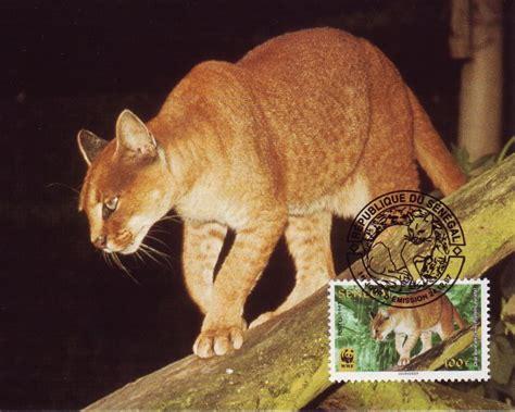 african golden cat facts diet habitat pictures
