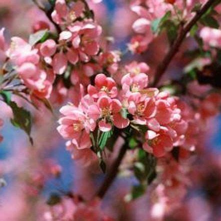 cherry tree varieties 17 best ideas about flowering cherry tree on pinterest cherry tree blossom trees and pink blossom