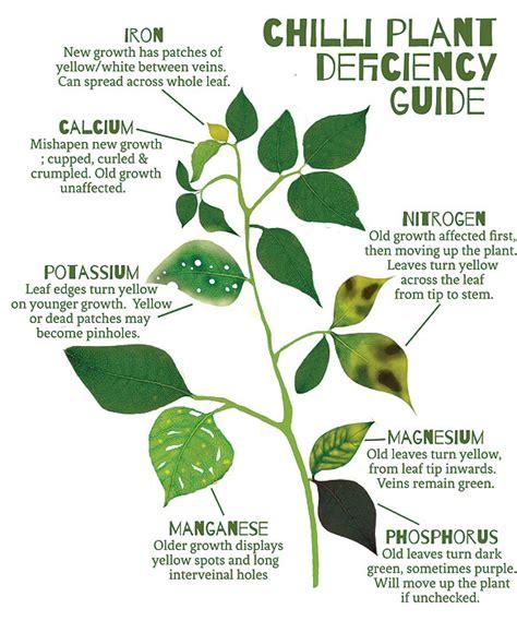 chilli plant nutrient guide
