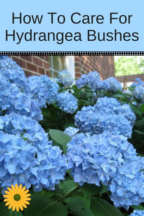 care  hydrangea plants bushes tips