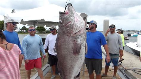grouper warsaw pound