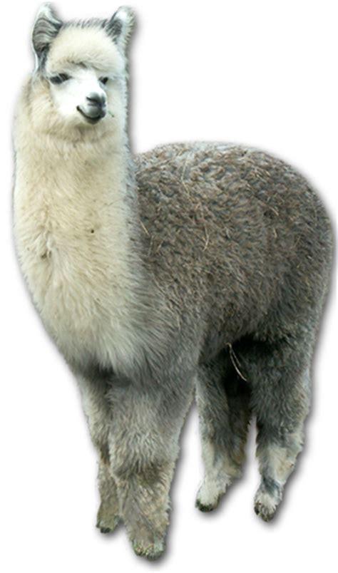 ferme du krefft elevage de lamas dalpagas