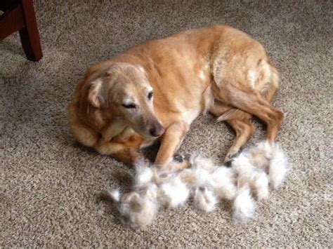 puppy shedding more than usual why do dogs shed and how to manage shedding kohepets