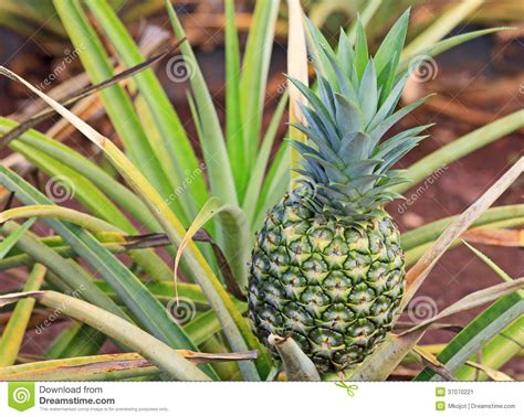 Green Unripe Pineapple On Bush Stock Image Image 37070221