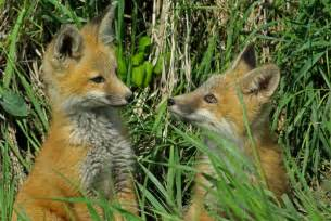 Baby Red Foxes Playing