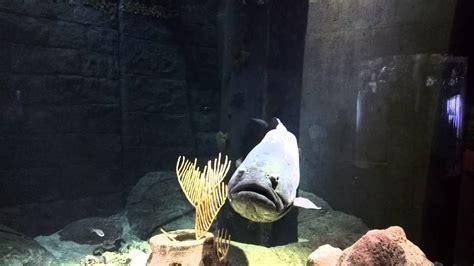 grouper goliath florida aquarium bay