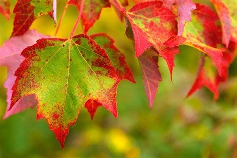why do trees change color fall foliage and climate change crandall park trees