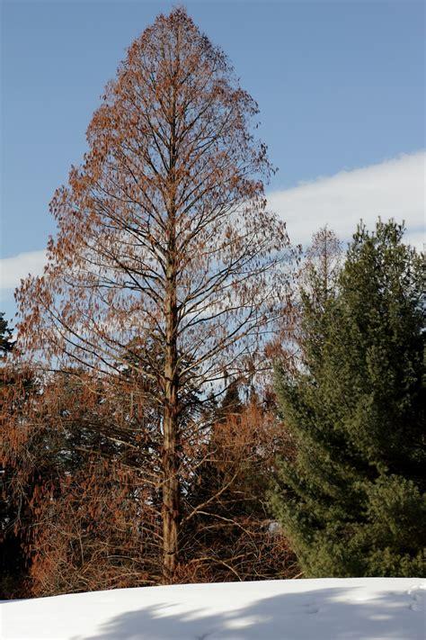 Dawn Redwood | Longwood Gardens