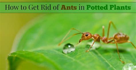 rid  ants  potted plants  rid  ants
