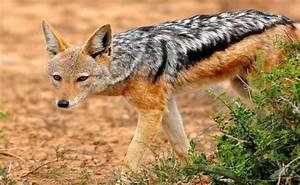 Jackal, Black-backed - Fascinating Africa