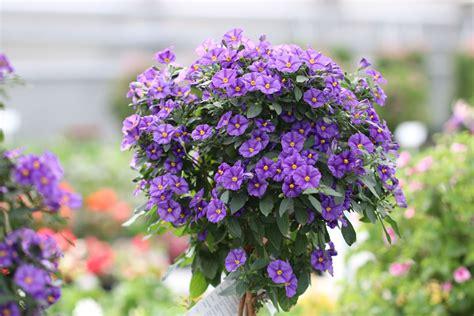 blaue pflanzen für den garten kartoffelblume kartoffelbaum pflege und 220 berwintern hausgarten net