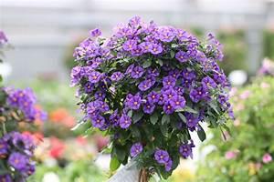 Blühende Pflanzen Winterhart : enzianbaum pflanzen pflege und berwintern ~ Michelbontemps.com Haus und Dekorationen