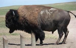 Maison Du Monde Tete De Buffle : bison d 39 am rique du nord wikip dia ~ Teatrodelosmanantiales.com Idées de Décoration