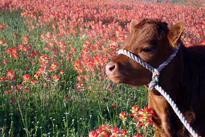 Flowers Texas Dexter Cattle None Cow Bar