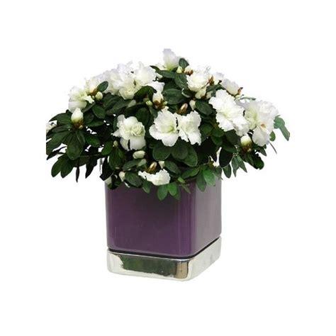 entretien azalee en pot azal 233 e blanche 25 30 cm cache pot carr 233 violet et argent plantes et jardins