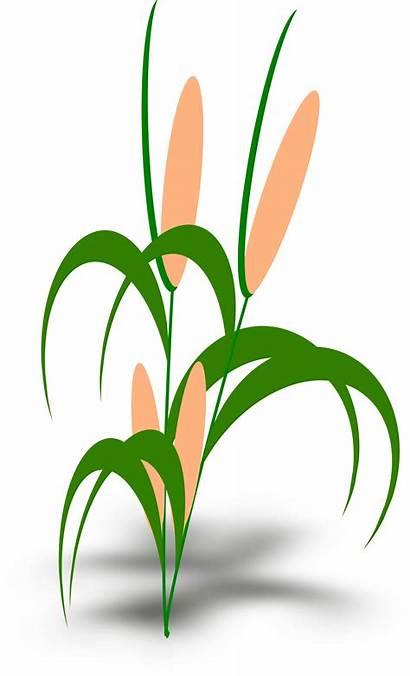 Plant Clipart Transparent Vector Cob Tumbuhan Plants