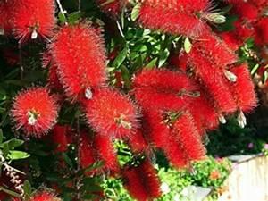 Arbuste Plein Soleil Longue Floraison : callistemon culture entretien esp ces et vari t s ~ Premium-room.com Idées de Décoration