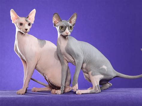 Sphynx Cat Pictures, Personality, And How To Care For