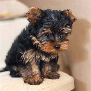 10 Dog Breeds That Don39t Shed Hair Tiptree Kennels