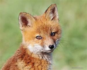 Cute Baby Red Foxes