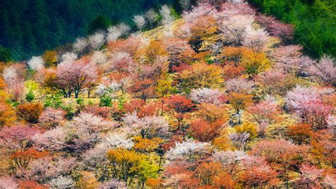 Bing Cherry Blossom Wallpaper Wallpapersafari