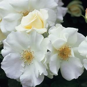 Buy rose Flower Carpet White (ground cover rose) Rosa ...