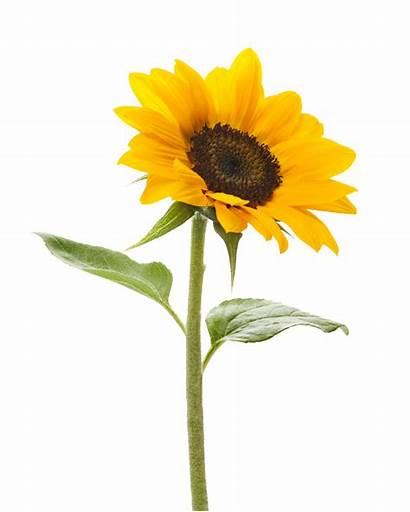 Sunflower Clipart Designs Backgrounds