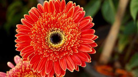 Wallpaper Of Hd Flower by Wallpaper Gerbera Flowers Orange Flowers Hd 5k Flowers