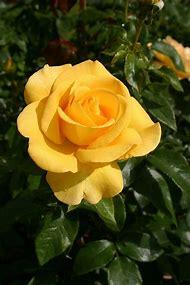 Hybrid Tea Rose Keep Smiling