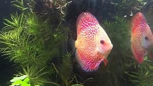 Optimale Aquarium Temperatur : best quality discus fish breeding in salt water aquarium temperature youtube ~ Yasmunasinghe.com Haus und Dekorationen