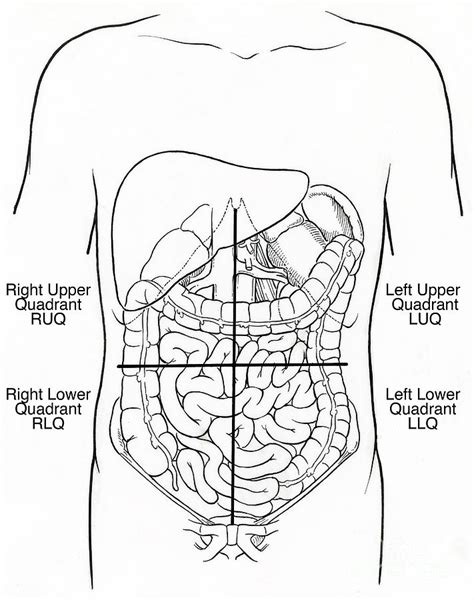 Heart, brain, kidneys , liver, and lungs. Illustration Of Abdominal Quadrants Photograph by Science Source