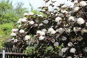 Blühende Hecke Schnellwachsend : bl hende heckenpflanzen diese 18 sorten bringen farbe in die hecke ~ Whattoseeinmadrid.com Haus und Dekorationen
