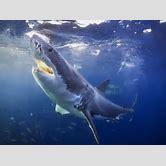 extinct-sharks-list