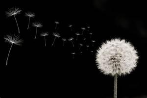 Pusteblume Schwarz Weiß Vögel : fototapete pusteblume rechts samen viele quer schwarz weiss pixers wir leben um zu ~ Orissabook.com Haus und Dekorationen